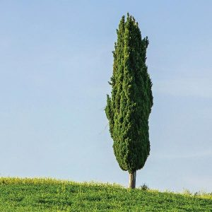 Kiri Cypress