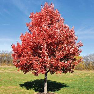 Kiri Red Maple